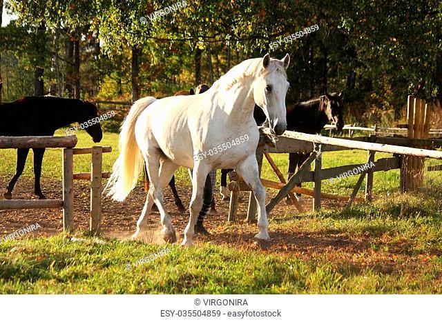 Beautiful white horse running trotting free
