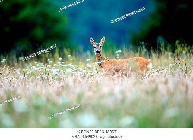 Deer in meadow, Capreolus capreolus