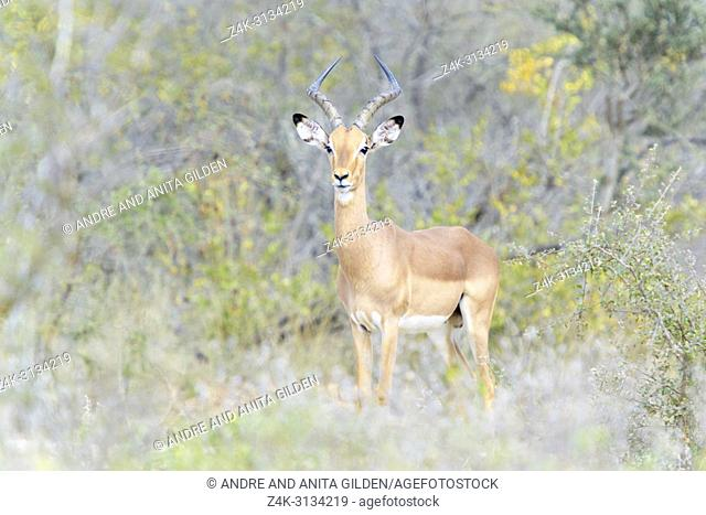 Impala (Aepyceros melampus) male standing in bush, looking at camera, Kruger National Park, South Africa