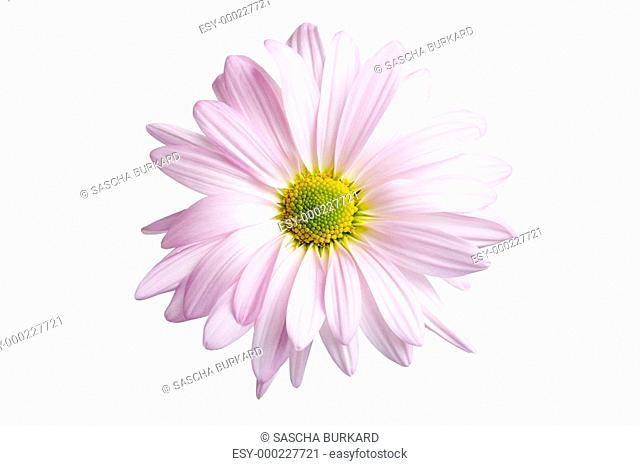daisy isolated