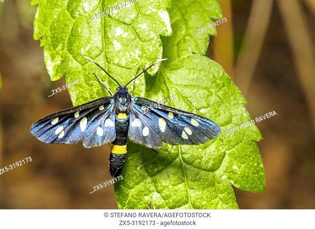 "Nine spotted moth or yellow belted burnet (Amata phegea, formerly Syntomis phegea) is a moth in the family Erebidae (""""tiger moths"""") - Umbria, Italy"