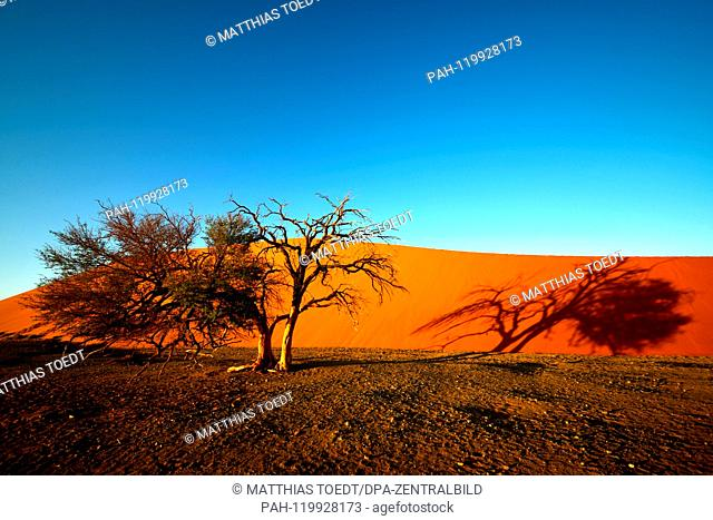 Shortly after sunrise, an acacia casts its shadow over a dune in Sossusvlei, taken on 01.03.2019. The Sossusvlei in the Namib-Naukluft National Park has been a...