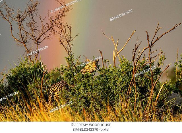 Rainbow over leopard standing in bush