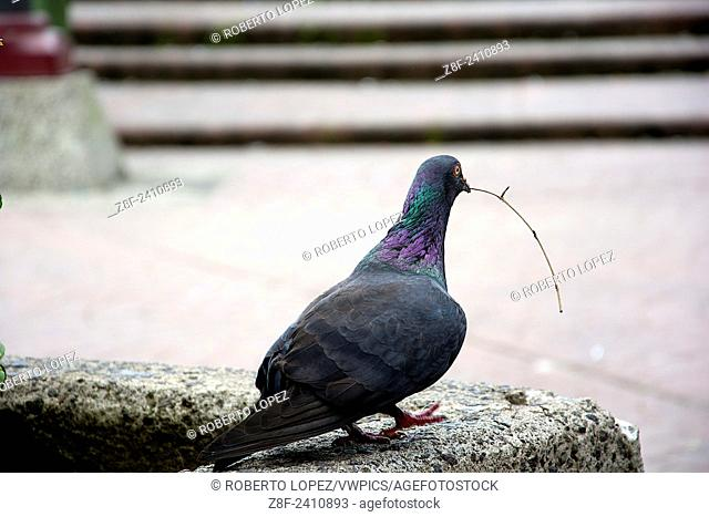 Close-up of a pigeon holding a branch in his mouth, about to fly in Plaza de la Cultura, San Jose, Costa Rica