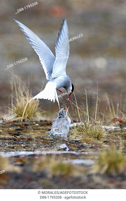 Norway, Svalbard, Spitsbergen Island, Arctic Tern Sterna paradisaea , one adult is feeding a young one
