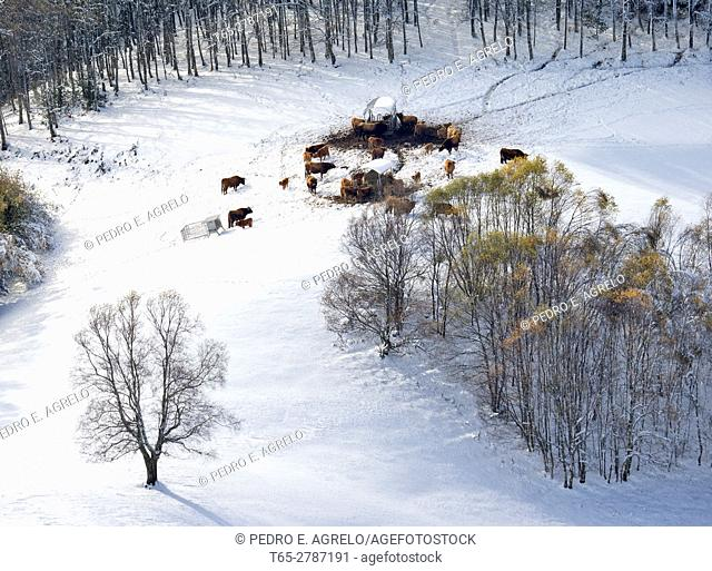 During the winter months, when snow covers pastures, cattle eat forage. In the image a slope of the mountains of O Courel Lugo snow cover