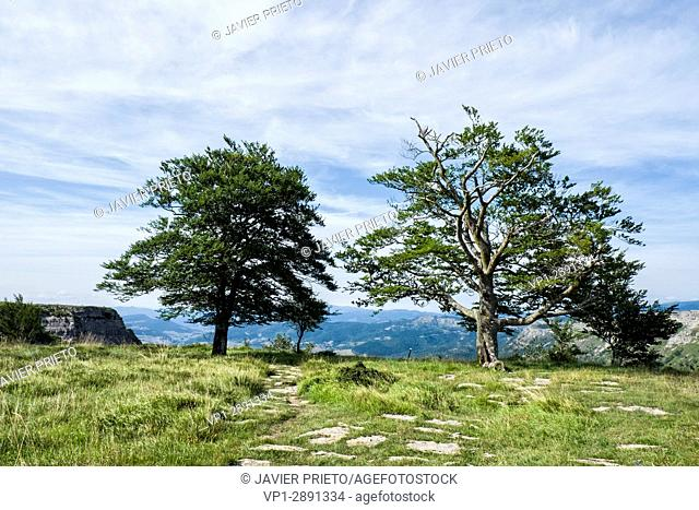 Two trees next to the cliff on the Cutted Path. Natural monument of Monte Santiago. Burgos. Castilla y León. Spain