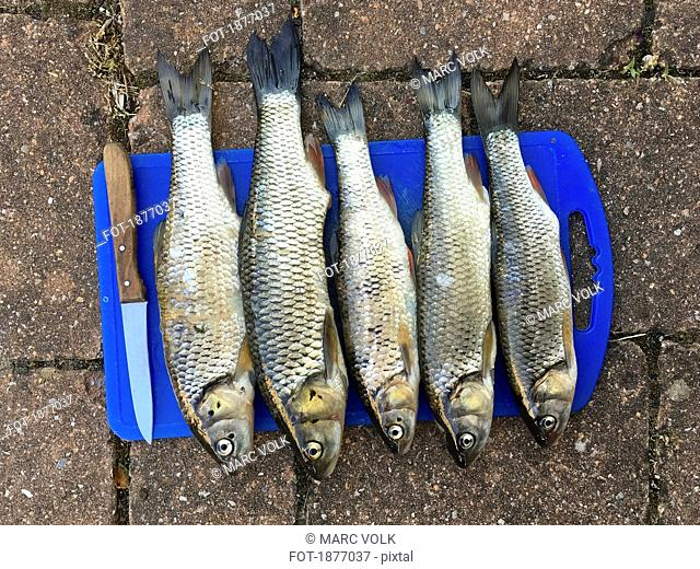 View from above chub carp fish in a row on cutting board with knife