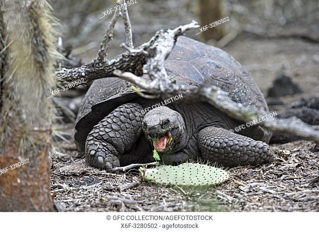 Galápagos giant tortoise (Chelonoidis nigra ssp), feeding on an Opuntia leave, in situ, Isabela Island, Galapagos Islands, Ecuador