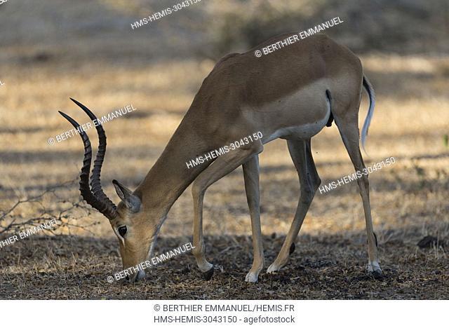 Tanzania, Lindi and Morogoro region, Selous reserve, impala (Aepyceros melampus)