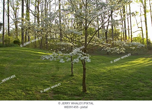 Dogwood Trees, Spring Images, East Tennessee