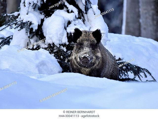 Pigs, real pigs, endemic animal species, cloven-hoofed animal, sow, making a mess, making a mess in winter, black smock, black game, pig, pigs, Suckel