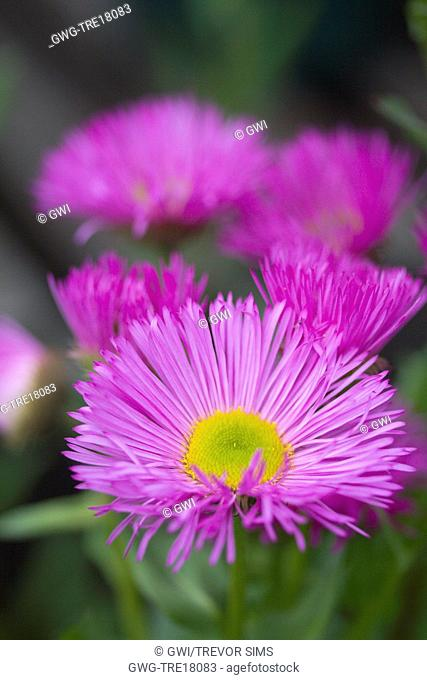 ERIGERON PYRENAICUS 'ROSE JEWEL'