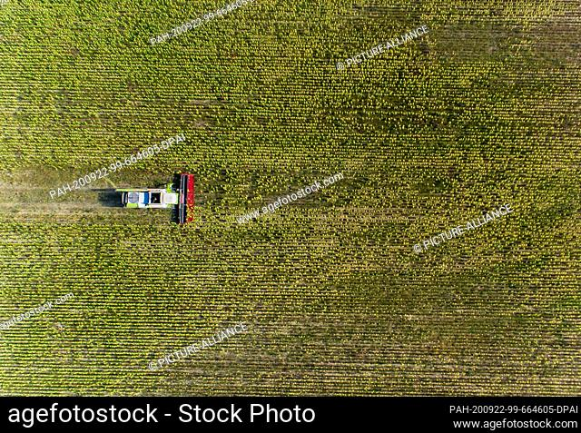 22 September 2020, Mecklenburg-Western Pomerania, Linstow: A combine harvests sunflowers in a field for the production of fodder