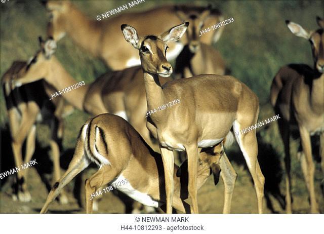 Aepyceros melampus, Africa, animal, animals, antelopes, herd, impala, Impala