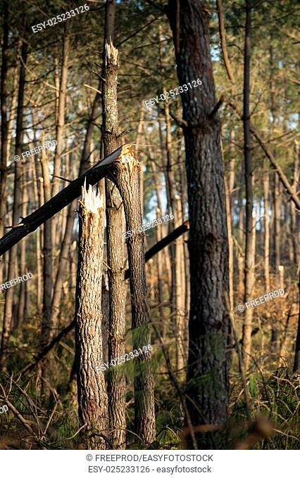 Storm damage. Broken tree in the forest, Landes, France