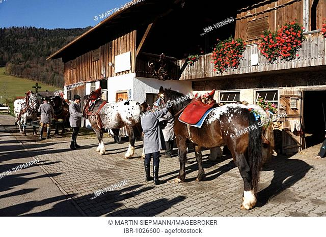 Horses being decorated, preparations for Leonhardifahrt, the feast day of Saint Leonard of Noblac, Kreuth, Tegernsee Valley, Upper Bavaria, Germany, Europe