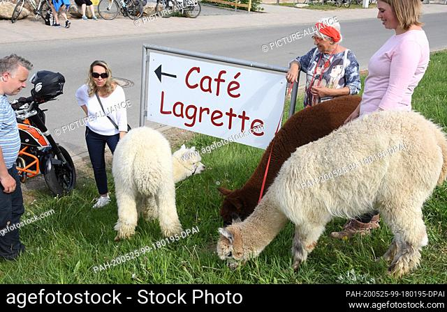 09 May 2020, Saxony, Kahnsdorf: A first hike this year with the alpacas of Diana Gröhmann (r) from the Alpaca-Shop Leipziger Land can be enjoyed by a family...