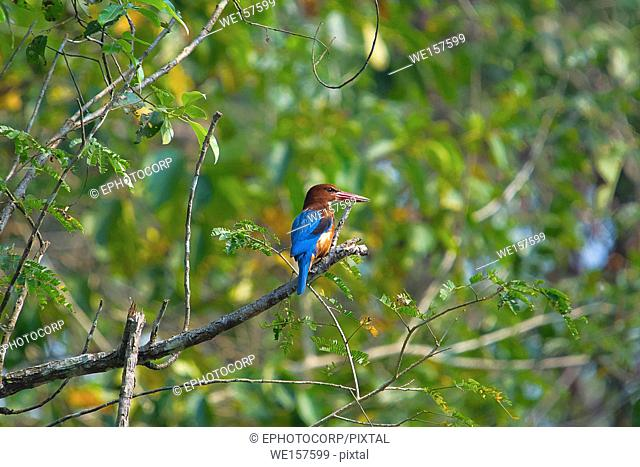 White Throated kingfisher, Halcyon smyrnensis, Kaziranga National Park, Assam, India