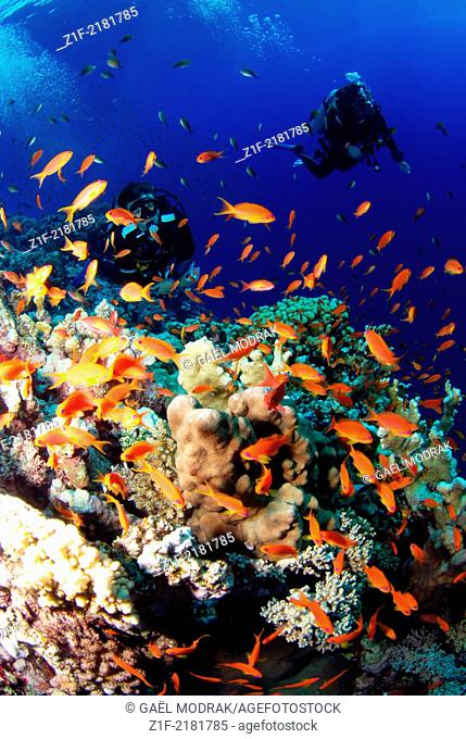 Two divers on Elphinstone's reef, red sea, Egypt, through hundreds of small jewel fairy basslets. Anthias squamipinnis