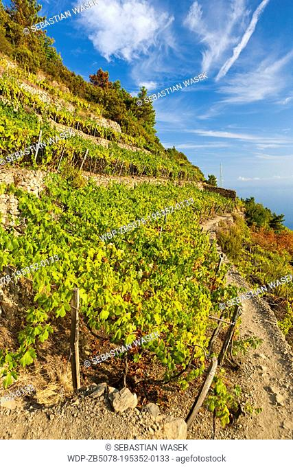 Terraced vineyards, Volastra, Province of La Spezia, Liguria, Italy, Europe