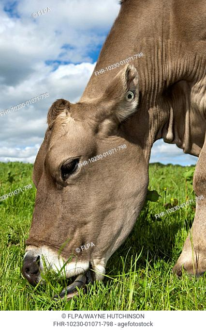 Domestic Cattle, Brown Swiss dairy cow, close-up of head, grazing in pasture, Dumfries, Dumfries and Galloway, Scotland, June