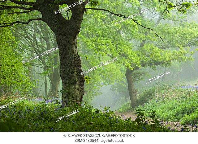 Misty spring morning in a West Sussex woodland, England