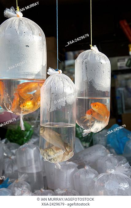 Goldfish on sale in plastic bags, Haputale market, Sri Lanka, Asia