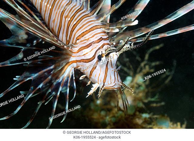 Lionfish (Pterois volitans). Raja Ampat, West Papua, Indonesia