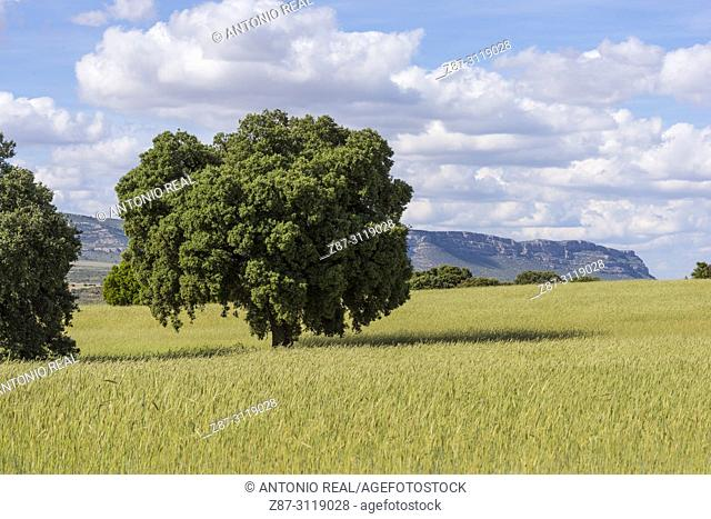 Cereal field, holm oaks (Quercus ilex) and clouds. Almansa. Albacete. Spain