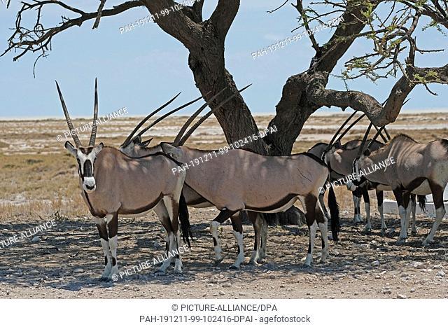 27 November 2019, Namibia, Etosha-Nationalpark: Oryx antelopes stand under a tree in Etosha National Park. Photo: Oliver Berg/dpa