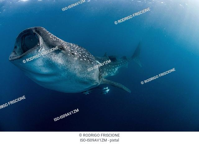 Underwater side view of whale shark feeding, mouth open, Isla Mujeres, Mexico