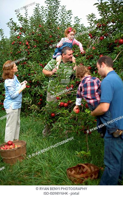 Family picking apples in orchard