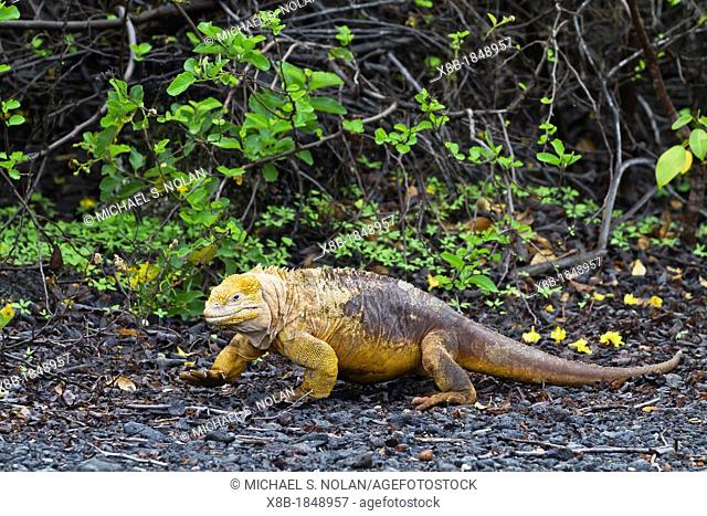 The very colorful Galapagos land iguana Conolophus subcristatus in Urbina Bay on Isabela Island in the Galapagos Island Archipelago, Ecuador