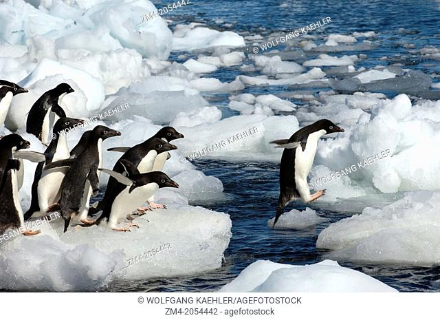 A group of Adelie penguins (Pygoscelis adeliae) jumping from ice pebble to ice pebble on a beach of Paulet Island on the tip of the Antarctic Peninsula