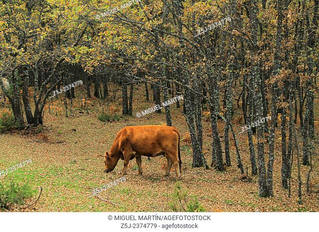 A cow grazes pleasantly in the oak forests close the Aguilón river, alongside the trekking route leading to the El Purgatorio falls