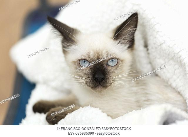 Close-up of a siames kitten on a white blanket
