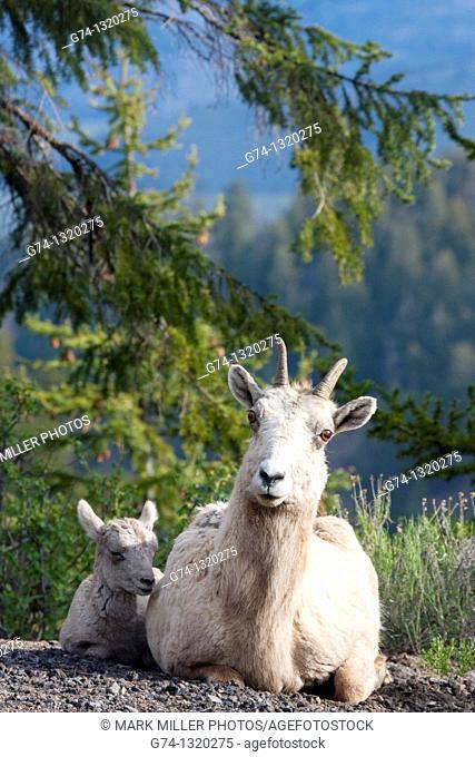 Bighorn Sheep Ewe and Lamb Rocky Mountains USA