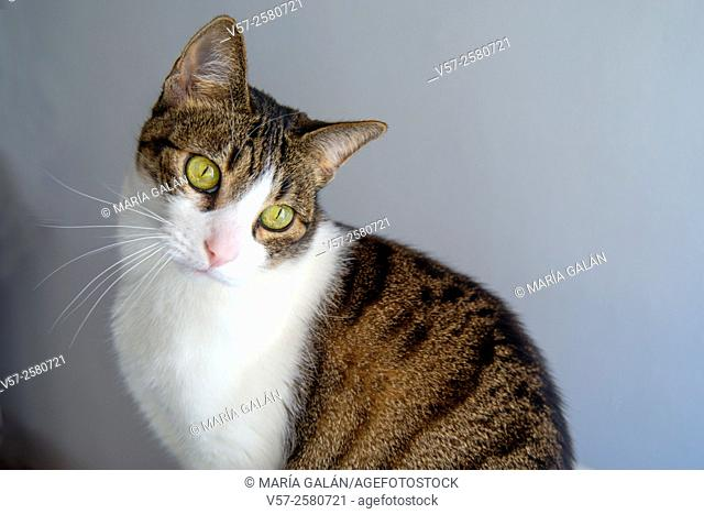 Tabby and white cat