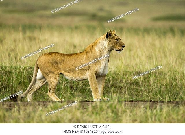 Kenya, Masai-Mara game reserve, lion (Panthera leo), a female looking at a prey