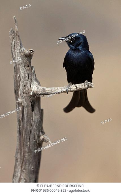 Black Drongo Dicrurus macrocercus adult, perched on branch, Ranthambore N P , Rajasthan, India