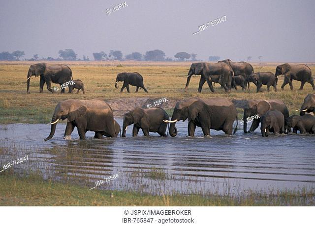 Herd of African Bush or Savanna Elephants (Loxodonta africana)