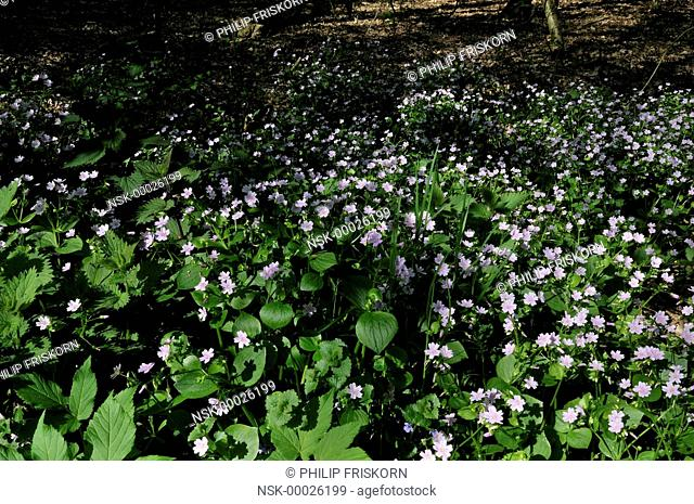 Undergrowth in the form of Siberian Spring Beauty (Claytonia sibirica), The Netherlands, Drenthe, National Parc Drentsche Aa