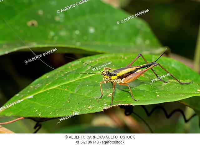 Grasshopper, Sekonyer River, Tanjung Puting National Park, Kalimantan, Borneo, Indonesia