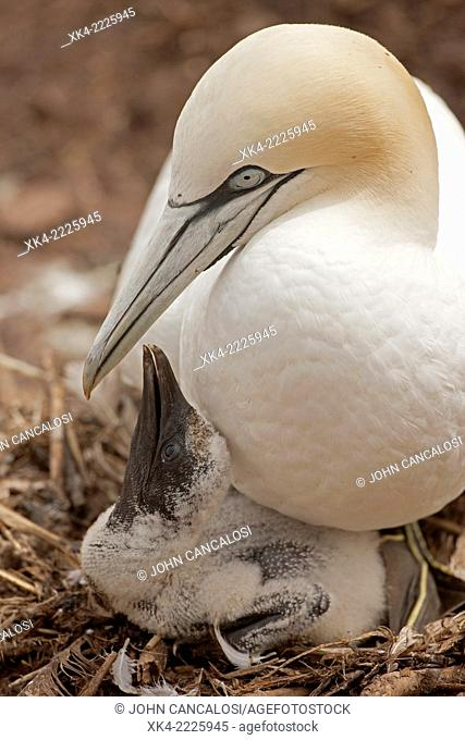 Northern gannets, parent with young in nest, Canada