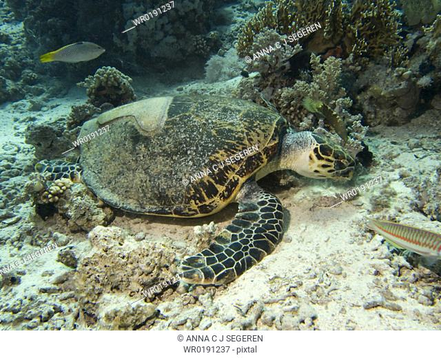 Dave, the famous Hawksbill turtle Eretmochelys imbricata from Sharm El Sheikh, rescued after a boat propellor accident, enjoying a meal with his partially fiber...