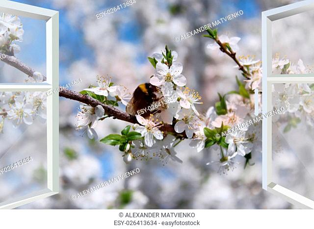 window to the garden with bumblebee flying above blossoming cherry-tree