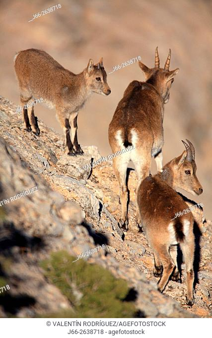 Ibex (Capra pyrenaica) in the natural park of Els Ports. Brood with her mother. Tarragona