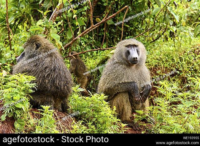 Wet olive baboon (Papio anubis) in the rain. Ngorongoro Conservation Area (NCA). Tanzania