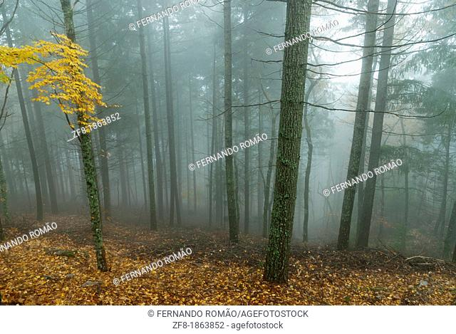 Forest in the mist-4, at Estrela Mountain Natural Park, Portugal